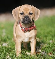 Puggles are the most adorable, gentle, protective, funny and fun-loving dogs ever!! We love ours to pieces!!!!