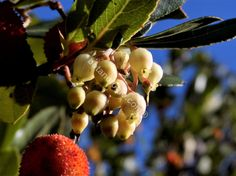 Arbutus fruit and flowers early winter. Κουμαριά, άνθη και καρπός, Δεκεμβριος