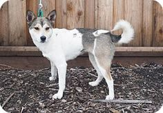 Corona, CA - Shiba Inu/Corgi Mix. Meet Tiana, a dog for adoption. http://www.adoptapet.com/pet/17948463-corona-california-shiba-inu-mix