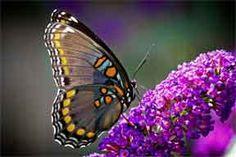 Butterfly Bush Pruning