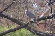 This bird ate a pigeon in the yard.  Seen April 25 2016.  Okay, readers, what kind of bird is this?  Do any of you know - please comment and let us know!