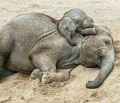 asian elephant calf sleeping on top of his mum – Bianca Seifert - Baby Animals Asian Elephant, Elephant Love, Elephant Art, Elephant Gifts, Elephant Images, Elephant Pictures, Cute Baby Animals, Animals And Pets, Funny Animals