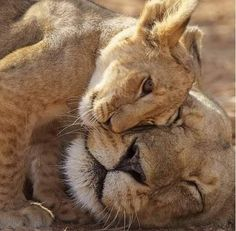 15 beautiful photos of Lion Cubs, which you should not miss - Löwe - Animals Big Cats, Cats And Kittens, Cute Cats, Beautiful Cats, Animals Beautiful, Cute Baby Animals, Animals And Pets, Nature Animals, Animal Original