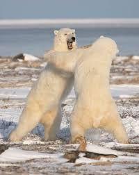 Resultado de imagen para animales peleando