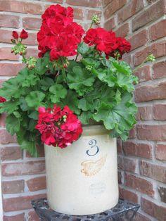 Geraniums in old crock~!    My idea of beautiful, love it