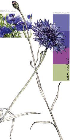 Planet Sam: Colour from the season - Cornflower blue Botanical Drawings, Botanical Art, Botanical Illustration, Art Floral, Watercolor Flowers, Watercolor Art, Colour Pallete, Sketch Painting, Blue Roses