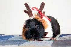 Guinea pig with antlers