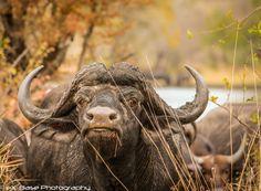 Buffalo - Not amused!