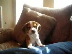 """(Sorry, did someone say """"baby beagle learning to howl?"""") 
