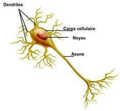 Neurone, Med School, Books, Peripheral Nervous System, Cranial Nerves, Spinal Cord, The Nerve, Human Anatomy, Livros