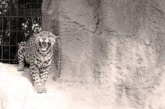 #charentemaritime #zoo #lapalmyre #leopard