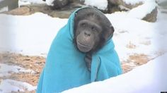 Quick links to share the petition: Stop cryogenic lab freezing experiments on chimpanzees! | Yousign.org | Please SIGN and share petition. Thanks.
