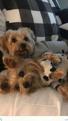 Super Cute Puppies, Cute Dogs And Puppies, Baby Dogs, Doggies, Yorshire Terrier, Terrier Breeds, Teacup Yorkie, Teacup Puppies, Cute Little Animals