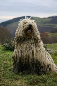 komondor i want one of these Big Dogs, Large Dogs, Dogs And Puppies, Cute Dogs, Big Dog Breeds, Dog Breeds List, Mop Dog, Dog Cat, Komondor