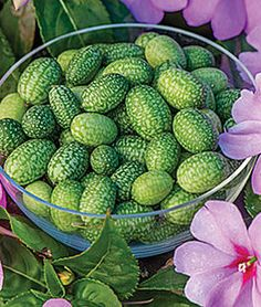 Cucumber, Mexican Sour Gherkin,