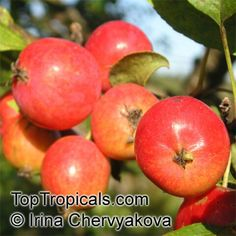 Low chill apples bear as far south as South Florida, and may be a unique addition to your yard. Attractive white apple blossoms will appear during Feb-March and give way to fruit (smaller than standard apples) in June. They remain a small tree, growing to about 15 feet.