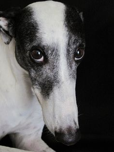 I love sighthounds..just look at those eyes