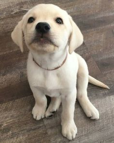 Mind Blowing Facts About Labrador Retrievers And Ideas. Amazing Facts About Labrador Retrievers And Ideas. Baby Dogs, Pet Dogs, Dog Cat, Doggies, Golden Retriever, Labrador Retriever Dog, Labrador Puppies, Corgi Puppies, Baby Animals
