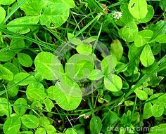 A clover makes a triangle in a meadow. That means math is hidden in every meadow.