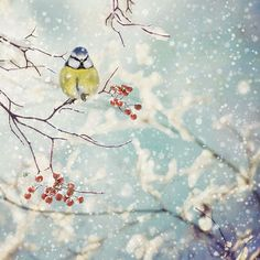 Blue Tit Berries - christmas card by Bug Art Art Et Illustration, Christmas Illustration, Watercolor Bird, Watercolor Paintings, Christmas Landscape, Watercolor Christmas Cards, Bug Art, Christmas Bird, Blue Tit