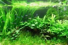 Low Tech Tank Show-and-Tell (low tech can be lush, too! =) - Page 51 - The Planted Tank Forum