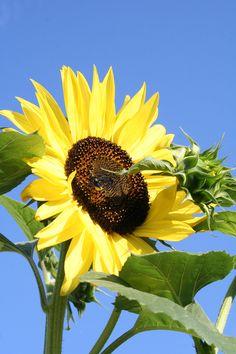 sunflower (c) GP