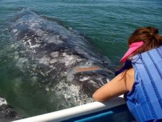Come and see the whales before they head back to the Bering Sea! http://bajabybus.com/
