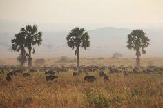 Buffalo herd and palms #safari #uganda #africa
