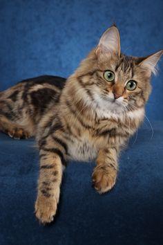angora cats pictures | Sunbriar Turkish Angora Cats