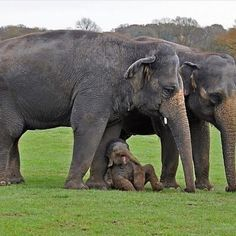 Here be a cutie baby elephant beside the front leg of his mother's Elephant Pictures, Cute Animal Pictures, Elephant Love, Elephant Art, Nature Animals, Animals And Pets, Cute Baby Animals, Funny Animals, Baby Elefant