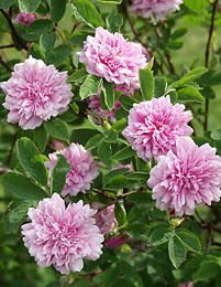 Tornionjokilaakson ruusu (native Rose of the River Valley Tornio)