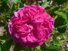 rosier Boufarik