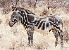 Canvas drieluik drinkende zebras foto schilderijen dieren op grevys zebra thecheapjerseys Gallery