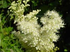 A closeup of the flowers of Meadowsweet