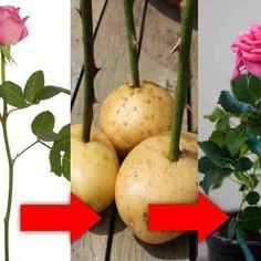 Как укоренить розу из букета? Простой домашний способ!
