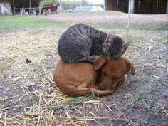 insolite chat chien dormir