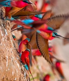 Carmine Bee-eaters Taking flight in South Luangwa, Zambia  ~ Photograph By @willbl #natgeography