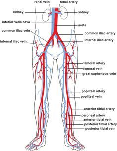 Human Veins and Arteries Diagram . 25 Human Veins and Arteries Diagram . Veins In Human Body Cardiovascular System System Structure Human Body Anatomy, Human Anatomy And Physiology, Muscle Anatomy, Blood Vessels Anatomy, Arteries Anatomy, Vascular Ultrasound, Interventional Radiology, Arteries And Veins, Medical Anatomy