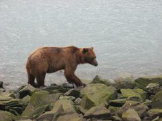 Grizzly bear hunting salmon, Valdez, Alaska