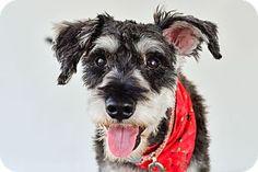 Vancouver, BC - Schnauzer (Miniature) Mix. Meet Archie, a dog for adoption. http://www.adoptapet.com/pet/17663754-vancouver-british-columbia-schnauzer-miniature-mix