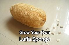 Grow Your Own Luffa Sponge.
