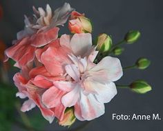 Mine vakre pelargoner: Unicorn Zonartic Frills