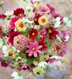 Buy Bestseller Cosmos and Zinnia Collection from Sarah Raven: A faded, muted collection of zinnias and cosmos in their newest forms. Zinnia Garden, Cut Flower Garden, Flower Farm, Cut Garden, Home Flowers, Cut Flowers, Fresh Flowers, Zinnia Bouquet, Flower Bouquets