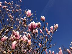Large pink flowers on these lovely Saucer Magnolias.