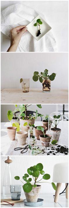 pilea peperomioides ufopflanze tree hugger pinterest chinese money plant money plant. Black Bedroom Furniture Sets. Home Design Ideas