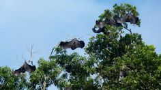 There are thought to be fewer than 1,000 of the animals left in the wild on the islands of Anjouan and Moheli, in the #Comoros archipelago off the south-east coast of #Africa. They roost in the tree tops of the islands' montane forests but this habitat is under increasing pressure from human activities.