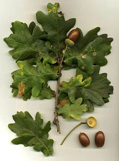 Oak (Quercus species) Oak trees have alternate leaves and edible acorn fruits. The leaves of the Oak may have serrated edges or may have smooth edges. Oak Leaves, Tree Leaves, Autumn Leaves, Acorn And Oak, Mighty Oaks, Wild Edibles, Survival Food, Emergency Preparedness, Survival Tips