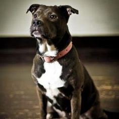 Mocha is an adoptable Pit Bull Terrier Dog in Saint Louis, MO. My name is Mocha and I am one lucky girl! My life has been spared because of the big hearts of the Gateway Pet Guardians volunteers. I wa...