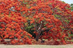 Flamboyant Tree in the Darwin Botanical Gardens. Delonix Regia, Fall In Michigan, Flamboyant, Colorful Trees, Tree Leaves, Flowering Trees, Tropical Plants, Botanical Gardens, Autumn Leaves