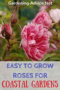 Try these easy to grow roses for windy coastal gardens. #gardeningtips #coastalgarden #gardening #rosegardening #roses